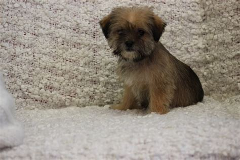 shih tzu cross terrier terrier shih tzu cross puppies puppy sheffield