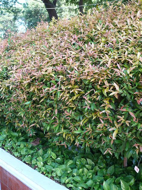 Teh Pucuk Ukuran Besar jenis tanaman untuk pagar majalah arsitektur lansekap