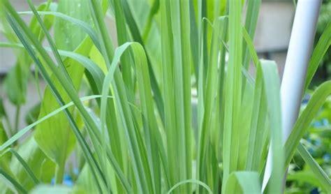 Bibit Tanaman Serai Bumbu 34 jenis tanaman pengusir nyamuk alami di rumah bibit