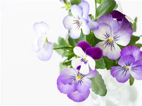 imagenes de flores llamadas pensamientos fondos de pantalla pensamientos en gran plano flores