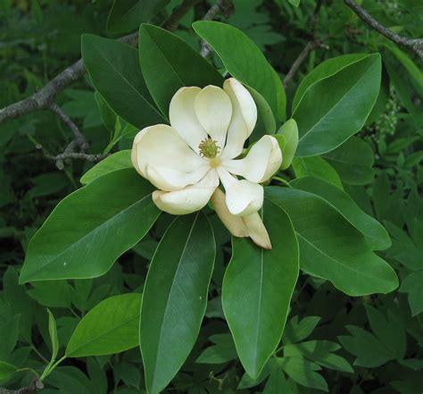 magnolia wikiwand