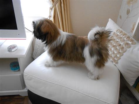 shih tzu puppies at 4 weeks lovely shih tzu puppy for sale 16 weeks rotherham south pets4homes