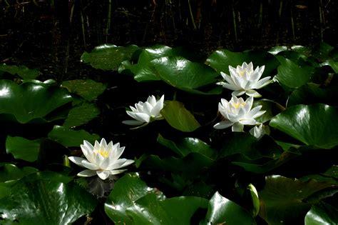 free images nature sunlight leaf petal pond green