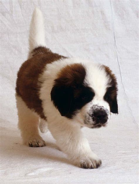 how big will my puppy be bernard my puppy is growing so fast can t wait for