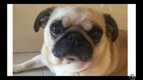 peggy the pug r i p peggy the pug dantdm pug