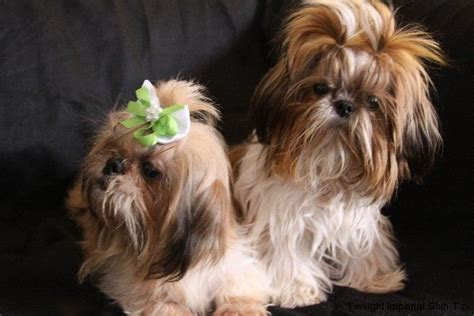 maltese in chinese adult shih tzu chinese imperials gold imperial shih tzu