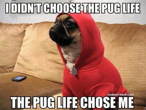 pug chose me pug chose me miscfunnies
