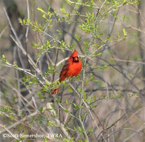 tennessee watchable wildlife northern cardinal habitat
