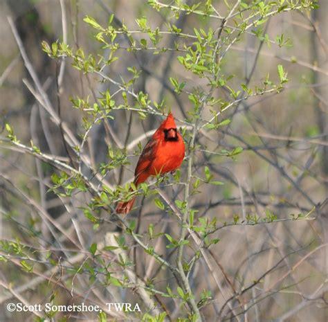 tennessee watchable wildlife northern cardinal habitat