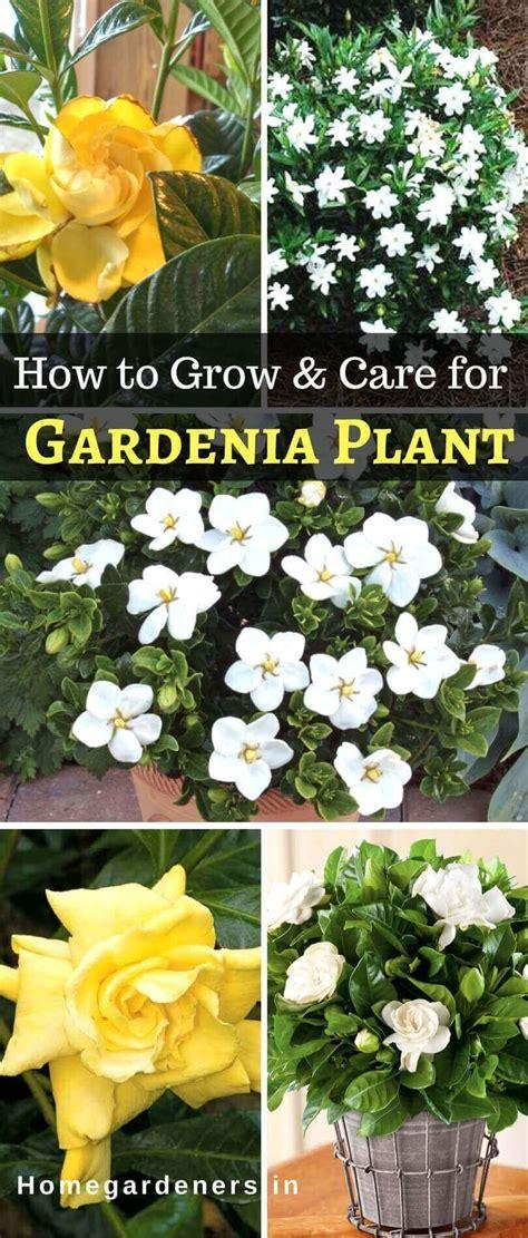 gardenia plant   care  gardenia plant  home