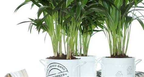 piante da vaso per esterni kenzia piante appartamento la maestosit 224 della kenzia