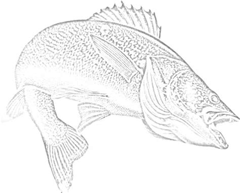 Walleye Coloring Page buck grouse walleye muskey river picture walleye