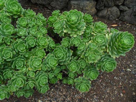 succulent plants world of succulents aeonium castello paivae world of succulents