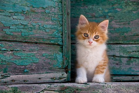 Image Gallery orange tabby white cat