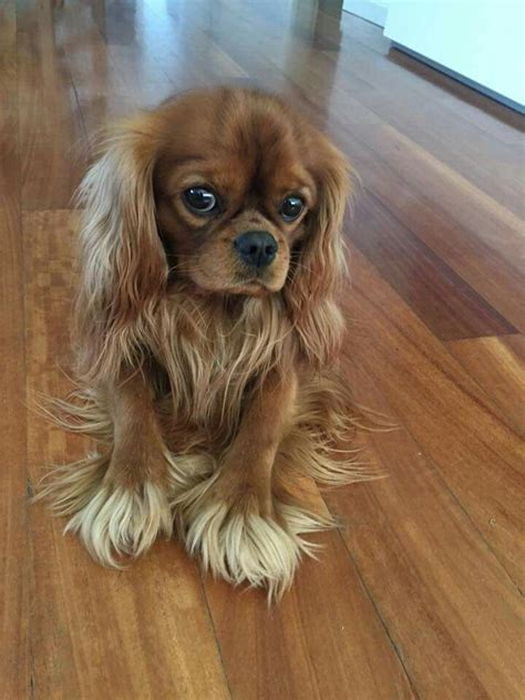 cavalier king charles spaniels whats good and bad about em the 25 best cool dogs ideas on pinterest cute dogs and