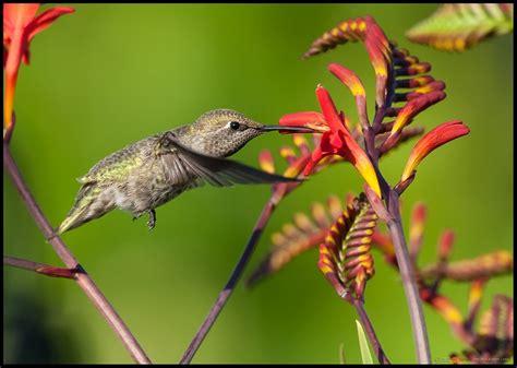 Hummingbird L by May 22 2015 Avian Friday Hovercraft Sirfishalot S