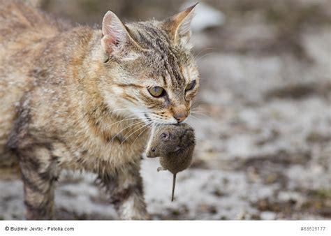 maus fangen wenn katzen spielen der spieltrieb der katzen