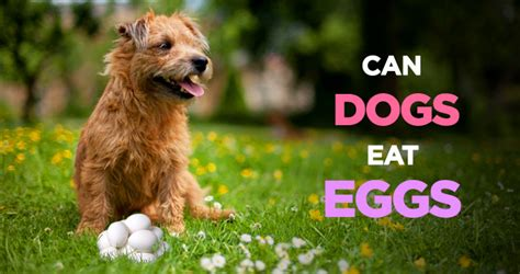 feeding dogs eggs can dogs eat eggs an incredibly healthy nutritious treat
