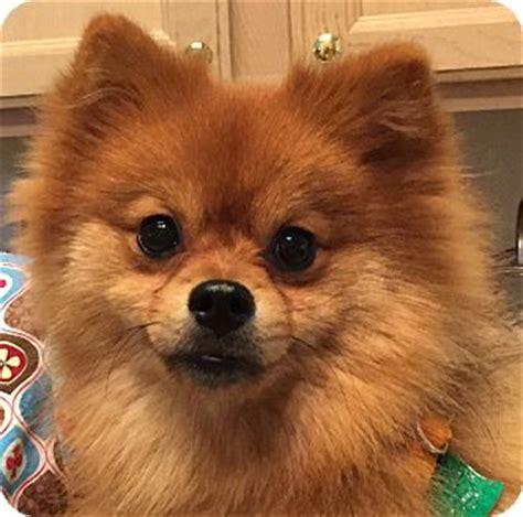 pomeranian rescue orlando adopted puppy orlando fl pomeranian mix