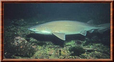 Requin Dormeur by Requin Griset Requin Dormeur Et Requin Nourisse Parle