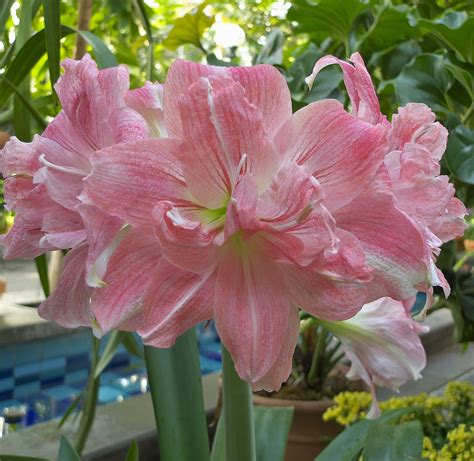 28 best amaryllis care lap of love veterinary hospice holiday hazards for dogs the flower