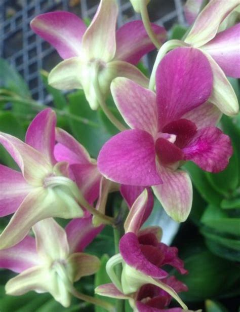 facts about orchids blossoming gifts blog orchid flower information in hindi thin blog