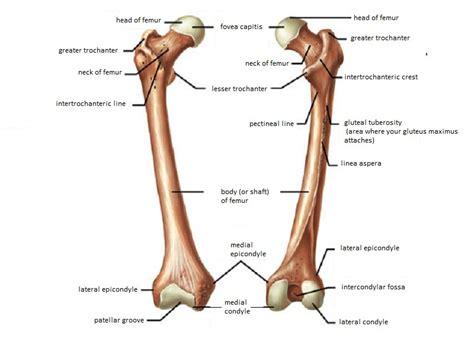 femur bone diagram skeletal system diagrams