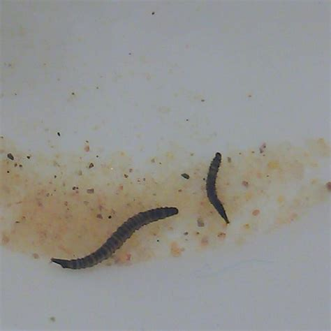 Worms In Shower Drain by Drain Worms Images