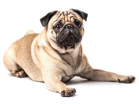 oldest pug on record australia s most popular breeds pet directory perth wa paws directory