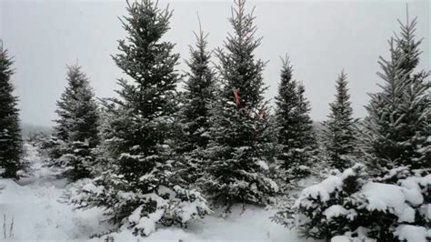 10 magical christmas tree farms in pennsylvania