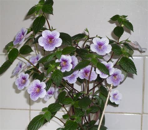 achimenes indoor plants grows