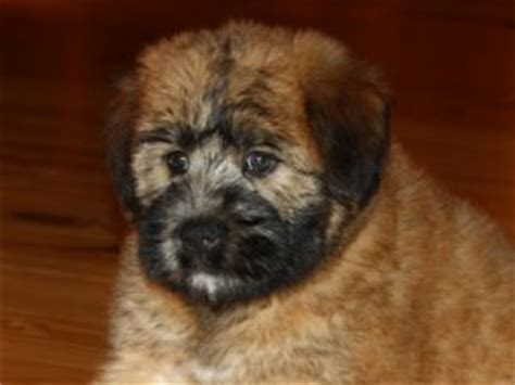 soft coated wheaten terrier puppies for sale hardin ranch sweetie wheaties breeds picture