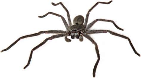 imagenes de arañas blancas c 243 mo identificar una ara 241 a venenosa batanga