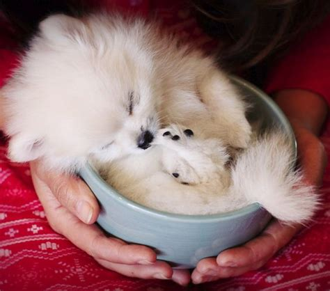 pomeranian cup pup in a cup pom pomeranian puppy adorable animals pomeranian pups