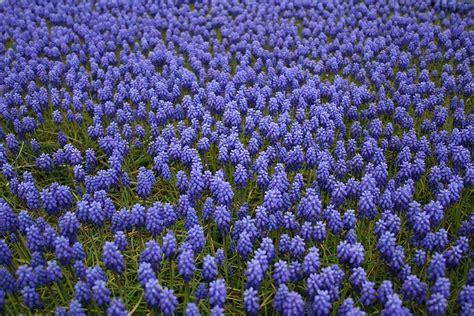 fiori perenni tappezzanti cosa sono e come si mantengono le piante perenni antica
