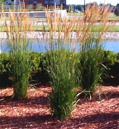 pflanze als sichtschutz 861 die besten 25 feder schilf gras ideen auf