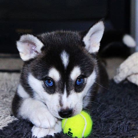 newborn husky puppies best 25 baby huskies ideas only on husky puppies siberian husky