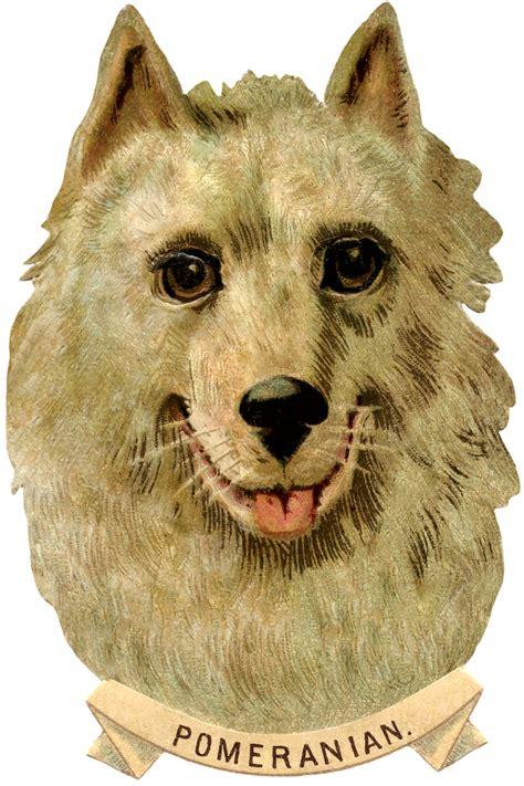 where can i buy pomeranian puppies pomeranian image the graphics