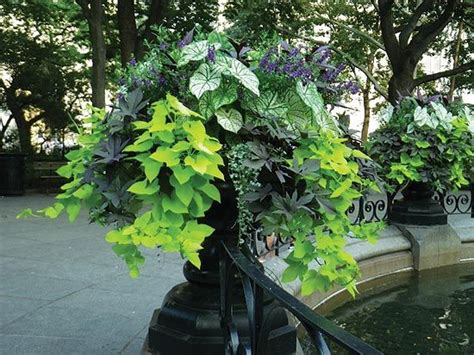 sweet potato container garden the world s catalog of ideas