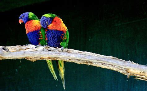 free download images of love birds amazing wallpapers love birds hd desktop wallpaper widescreen high