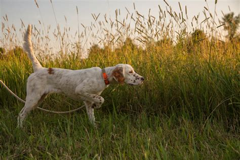 setter dog training what does it mean when your dog lifts a paw