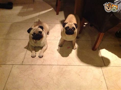 one eyed pug for sale one eye pug chelmsford essex pets4homes
