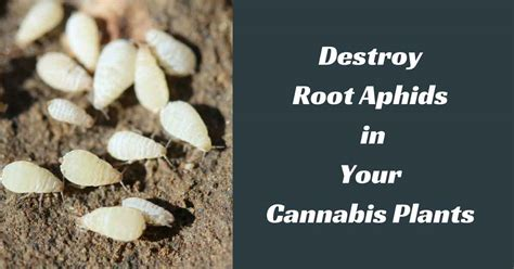 how to kill roots destroy root aphids in your cannabis plants for