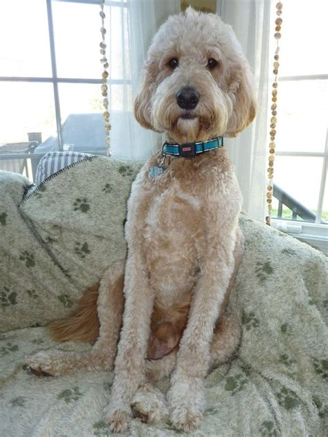 how to cut a goldendoodles hair goldendoodle haircut goldendoodle haircuts jake