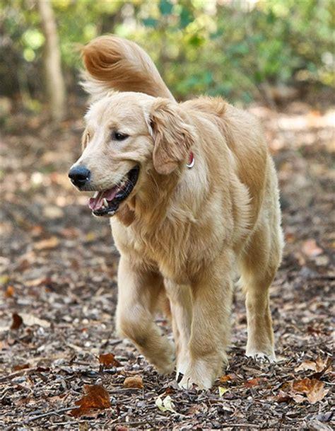 9 month golden retriever nine month golden retriever puppy flickr photo