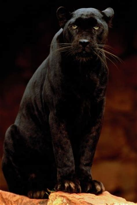 Black Panthers Also Search For Black Panther Big Cats