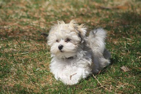 havanese animal planet havanese high resolution wallpaper animal planet hd