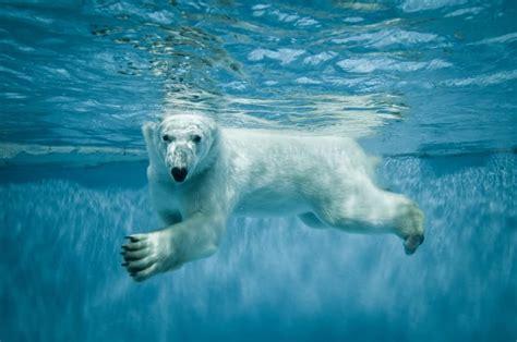 libro the moral landscape conhe 231 a alguns fatos e curiosidades sobre os ursos polares