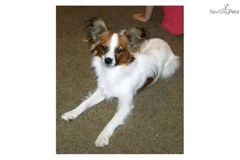 papillon puppy price papillon for sale for 300 near hattiesburg mississippi e501a327 29e1