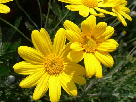 Plants That Need No Sunlight by How Do I Care For These Yellow Daisies Yahoo Answers